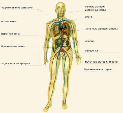 системы (артерий, вен,