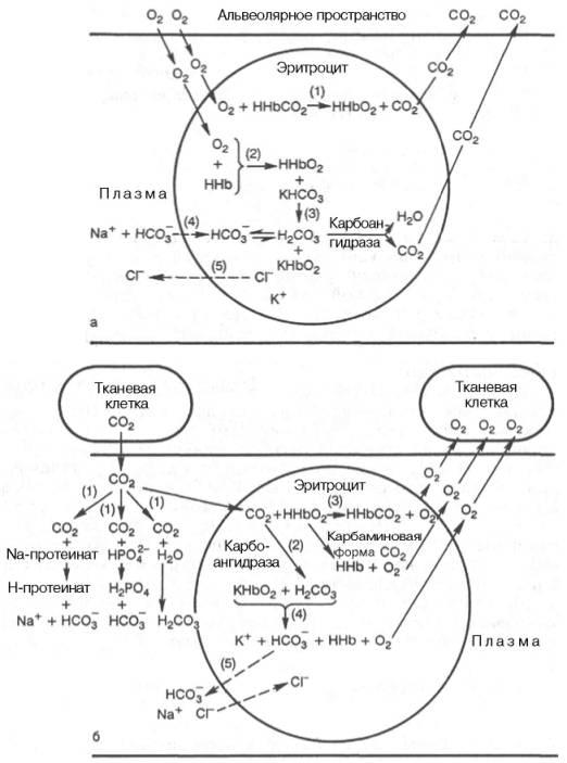 Роль системы плазма-эритроцит